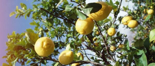 Cytryna z pestki