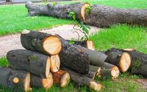 Wycinka drzew. Kto może wyciąć drzewa i krzewy bez zezwolenia? Jakie są stawki opłat za wycinkę?