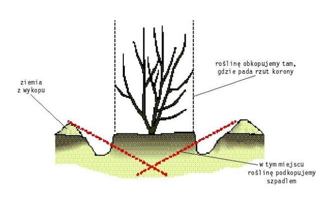 Magnolia przesadzanie