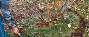 Przesadzanie krzewów. Czy można przesadzać starsze krzewy?