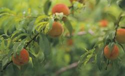 Choroby drzew owocowych. Wiosenne opryski drzew owocowych